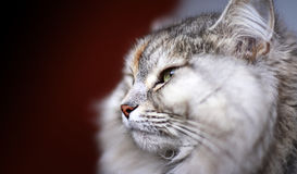 Pet. Side portrait of a Siberian cat Royalty Free Stock Images
