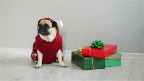 Pet sitting next to the gifts in bright packaging. Cute doggy of breed a pug is dressed by a holiday in a red-white suit. Of a reindeer. Merry Christmas. Happy stock footage
