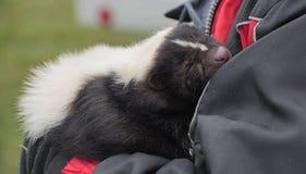 Pet skunk Royalty Free Stock Photos