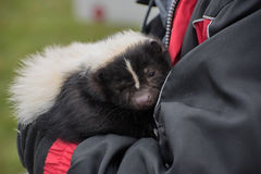 Pet skunk royalty free stock photography