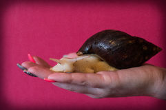 Pet snail. Big pet snail on the hand Stock Photo