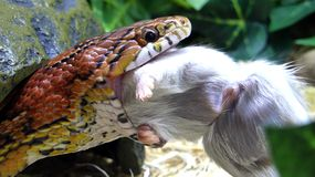 Pet snake eating a rodent stock photo