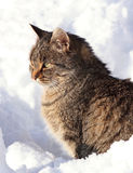 Pet in snow. Cat in snow during winter Royalty Free Stock Photos