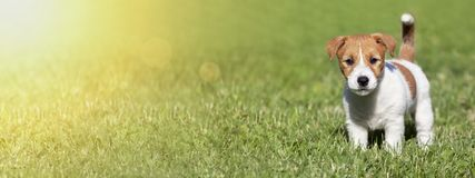 Pet summer concept, banner of a cute dog puppy as standing in the grass. Pet summer concept, web banner of a cute dog puppy as standing in the grass stock image