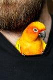 Pet Sun Conure Parrot Bird inside Shirt Stock Image