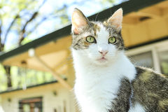 A pet tabby cat. Looks out while sitting on the deck Stock Image