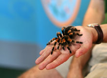 Pet tarantula Royalty Free Stock Photography