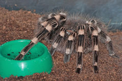 A pet tarantula. (Acanthoscurria sp.) sits near its bowl Royalty Free Stock Photo