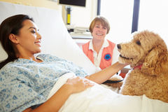 Pet Therapy Dog Visiting Female Patient In Hospital. With Volunteer Sitting In Background Smiling Stock Image