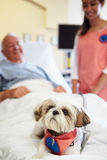Pet Therapy Dog Visiting Senior Male Patient In Hospital. With Female Volunteer In Background Royalty Free Stock Photo