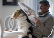 Pet Therapy - Contentment. A Fox Terrier makes himself comfortable while his master attempts to read the morning paper royalty free stock images