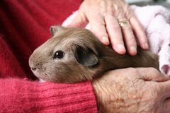 Pet therapy guinea pig Stock Photos