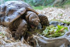 Pet tortoise eating lettuce closeup. Closeup photo of small pet tortoise eating lettuce on straw bedding royalty free stock image