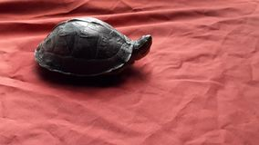 A pet tortoise stock footage