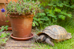 Pet Tortoise Royalty Free Stock Photo