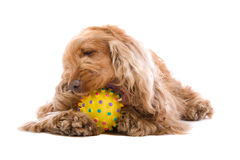 Pet with toy Stock Image