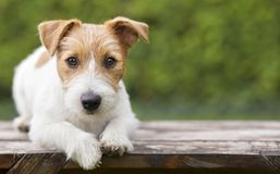 Pet training - smart happy jack russell dog puppy looking. Pet training concept - smart happy jack russell terrier dog puppy looking to his owner - with blank stock images