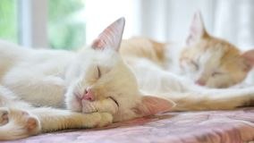Pet two cute kitten funny sleeping on the table slow motion video stock video footage