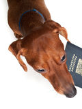 Pet Vacation. Looking down at a miniature Dachshund, holding a passport in his mouth, isolated on white Royalty Free Stock Photos