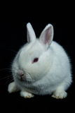 Pet vienna white rabbit with albinism Stock Photography