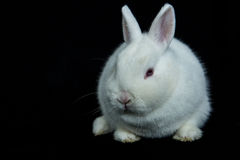 Pet vienna white rabbit Royalty Free Stock Image