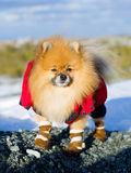 Pet on a walk Royalty Free Stock Photo