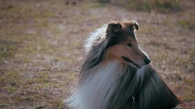 Pet walk in the park close up muzzle profile cute rough collie dog excitedly smiling staring and panting