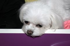 A bored small white dog in a drawer, teacup maltese puppy. stock photo