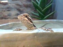 Petco lizard royalty free stock photography