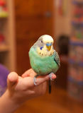 Pet wavy parrot on child's hand. Royalty Free Stock Photography