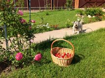 Pet on the way home near flowering climbing roses and a basket of fresh strawberries on the grass in the village Stock Photos