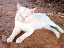 Pet. White cat sleeping Stock Image