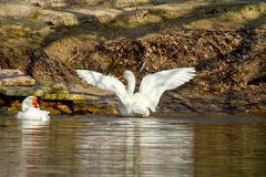 Pet a white goose on a pond spread its wings Royalty Free Stock Images