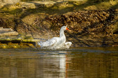 Pet a white goose swims on a pond Royalty Free Stock Photo