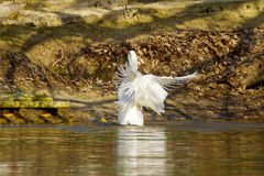 Pet a white goose swims on a pond Stock Photo