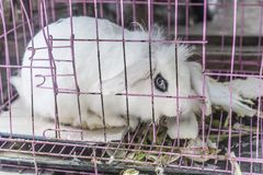 A pet white rabbit kept in a wire cage. A pet white rabbit, kept in a wire cage, was taken in Qinhuai District, Nanjing, Jiangsu Province royalty free stock photography