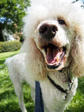 Pet White Standard Poodle Nose on Walk. A white standard poodle out on a walk in the park Royalty Free Stock Photos