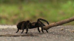 Peta en svart spindel med en pinne stock video