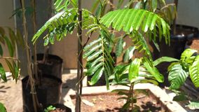 Petai or sato tree plant. Petai or sato, stink twisted cluster .bitter bean, Parkia speciosa young tree at nursery stock video