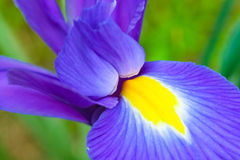 Petal of blue and purple iris flower Stock Photo