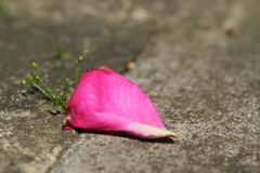 Petal. Close photo of pink petal of a rose fallen on the ground Stock Images