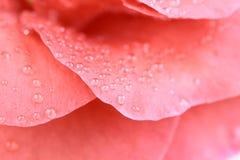 The  petal closeup of red camellia flower Stock Photos