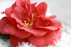 The  petal closeup of red camellia flower Stock Image