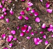 petal czerwona róża Zdjęcia Stock