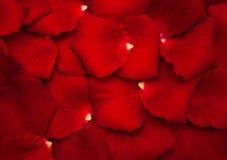 petal czerwona róża Zdjęcie Royalty Free
