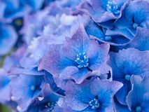 Petal detail of blue Hydrangea aka Hortensi flowers. royalty free stock images