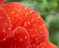 Petal with drops Royalty Free Stock Image