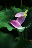 petal för 2 blommalotusblommar Arkivfoto