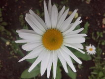 Petal, flower, daisy, white, yellow, beautiful,tender, garden, flowerbed, plant, large, amazing Royalty Free Stock Image