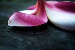 Petal of Frangipani, the Plumeria hybrid blossom stock photos